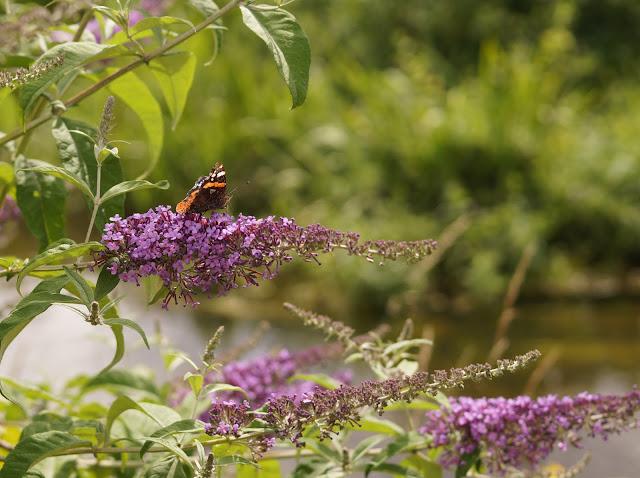 butterflies spotted in Norfolk in summer