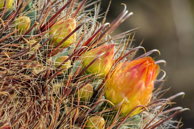 Fishhook Barrel Cactus, Saguaro National Park