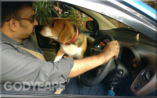 beagle sitting on driver of car