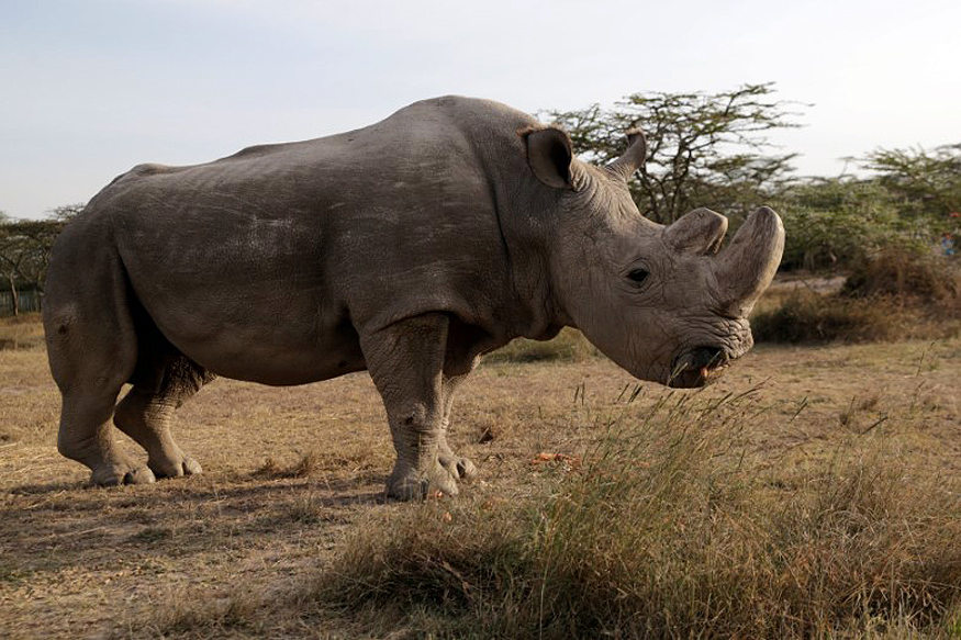 Pregnant rhino in USA to play role in saving Africa's northern white rhino