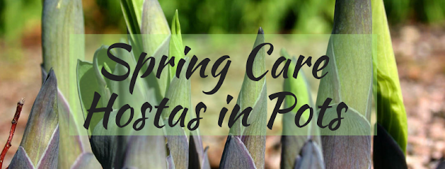 Spring Care for Hostas in Pots