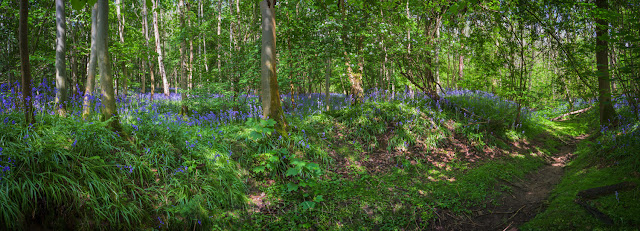 Dappled sunlight highlights spring bluebells in this quiet Cambridgeshire woodland