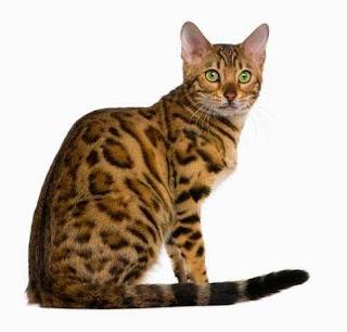 gato-bengala-cuidados-especiales