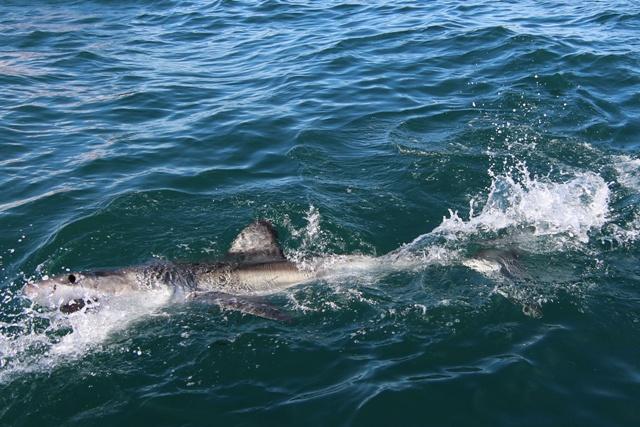 Tiburón Blanco en Gansbaii