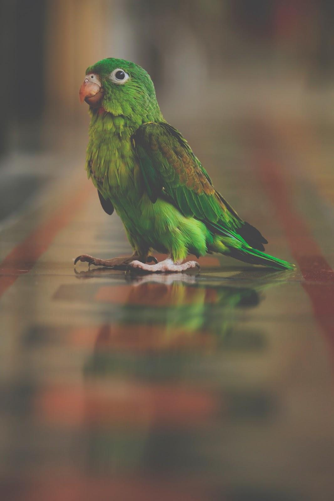 Cara Jitu Mengatasi Lovebird Kegemukan