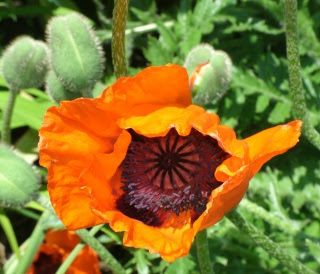 Allegro Oriental poppy bloom at Paul Kane House gardens by garden muses: a Toronto gardening blog