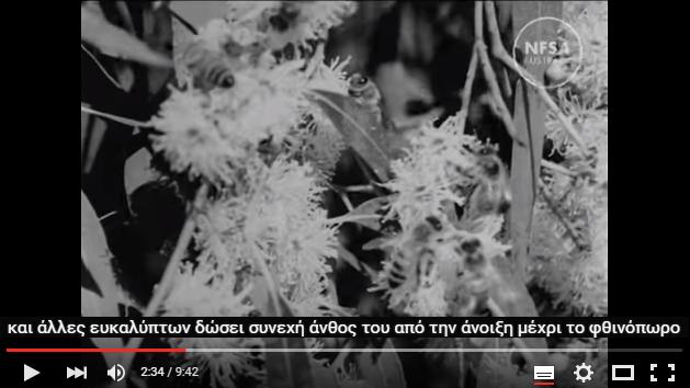 Η Μελισσοκομία στην Αυστραλία το 1947: Μέλισσες βοσκούν σε ευκάλυπτους Melliodora