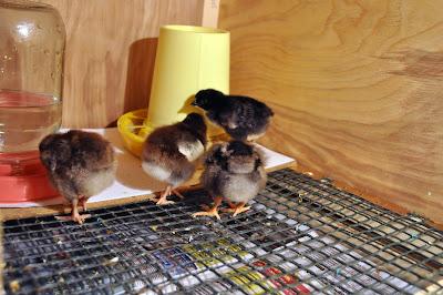 Кормушка и поилка для цыплят
