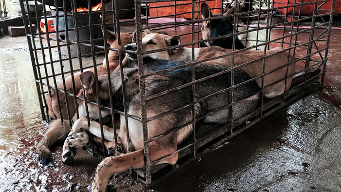 This Man Just Saved 1,000 Dogs From Being Slaughtered At The Yulin Meat Festival