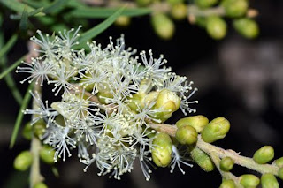 malaleuca olio di tea tree