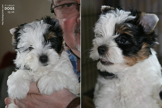 Biewer Yorkshire Terrier Lotta 8 Wochen alt bei unserem ersten Besuch