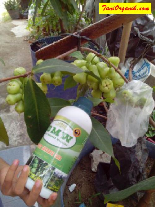 Trik Memacu Tabulampot Jambu Air Madu Berbuah Lebat (Ibu Fitri, Medan, 2015)
