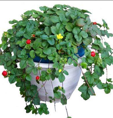дюшенея-индийская-декоративная земляника