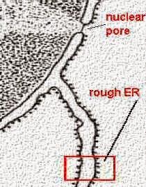 membran nukleus, tampak memiliki pori-pori/lubang(nuclear pore)