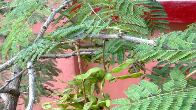 Importance of Shami Tree Worshipped on Dussehra