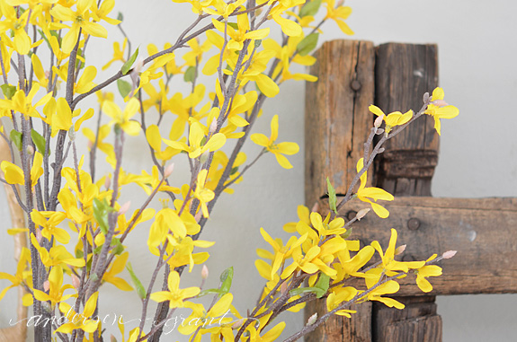 Forcing Forsythia To Bloom Indoors For Spring Decorating