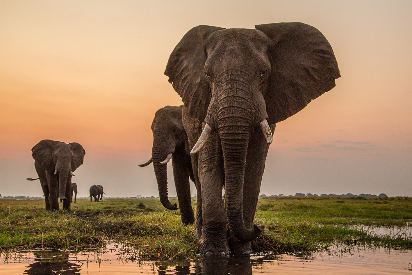 Legendary Origins Of The Mighty African Elephant Edible Gold