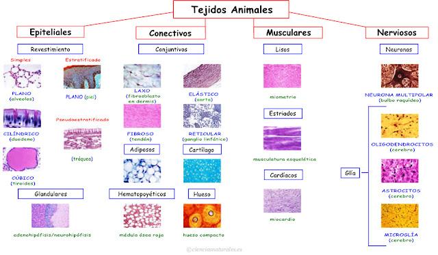 Enlace con Tejidos Animales (actualización)
