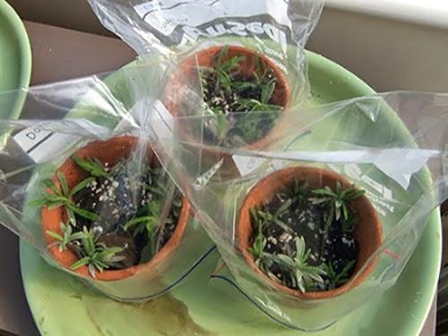 Bước 7 Cách trồng cây oải hương