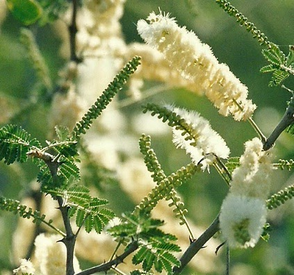Benefits Of Acacia For Health Tips Curing Disease