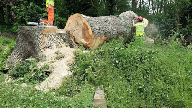 Felling of the Waterville ash