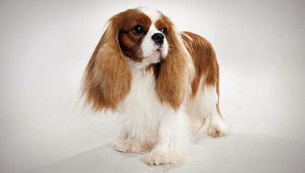 Everything about your Cavalier King Charles Spaniel