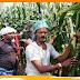 जिले में कई जगह मक्के के बाली में नहीं आया दाना, किसान परेशान
