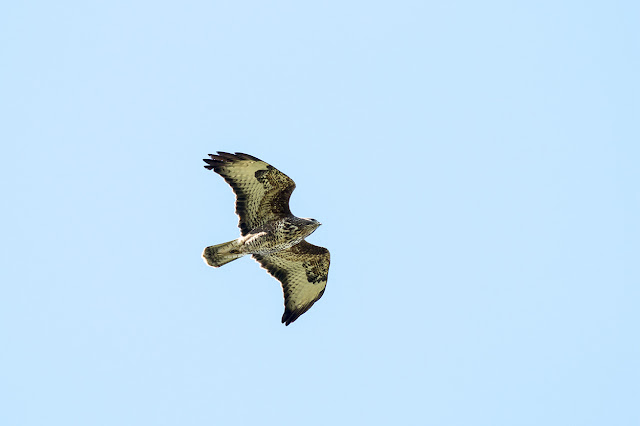 A second of the Common Buzzards