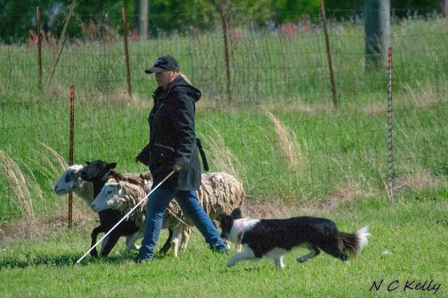 border collie herding names