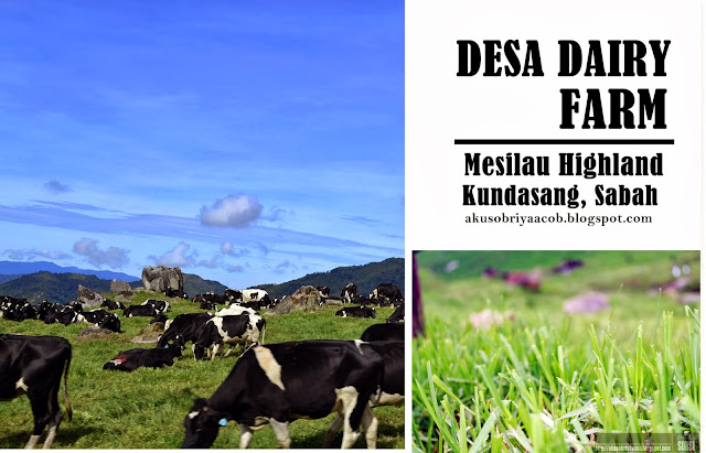 Image result for desa cattle dairy farm mesilau kundasang