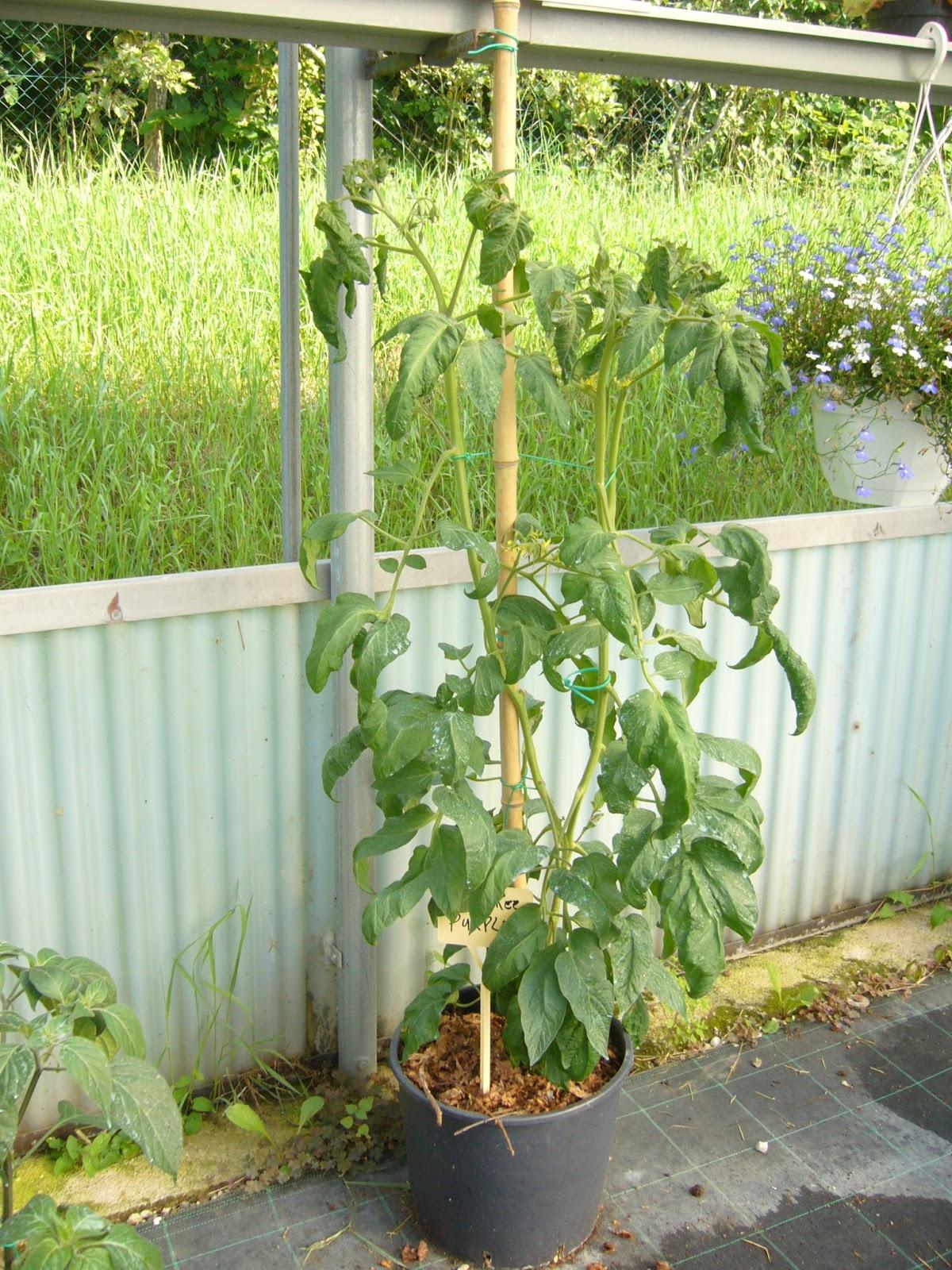 Vivaio biologico il ruscello sperimentazione di variet for Piante pomodori in vaso