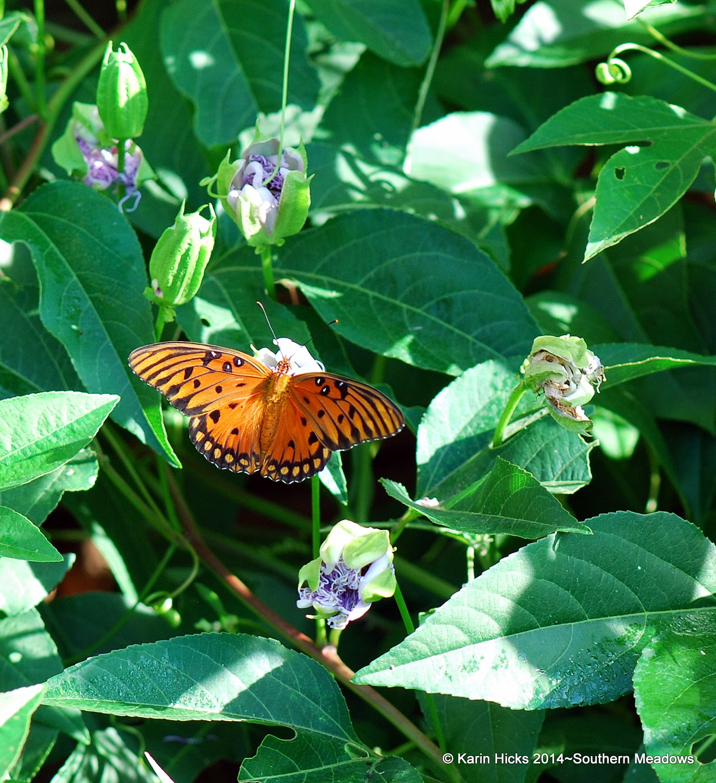 gulf fritillary on passiflora vine