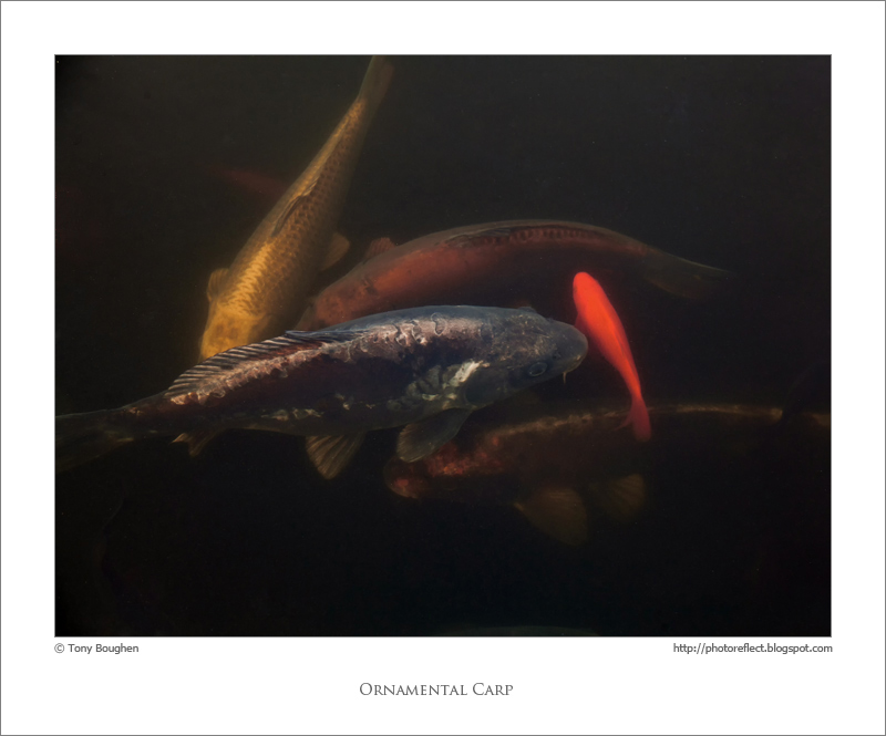 Photoreflect watching the carp for Decorative carp