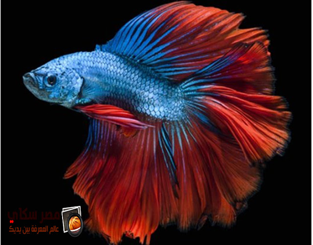 تعرف على شكل سمكة سياميس المقاتلة  Siamese Fisghter وسمكة الجرامي
