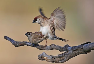 Burung Kenari yang over birahi atau terlalu birahi Kabar Terbaru- 5 Cara Mengatasi Burung Kenari Over Birahi Dengan Benar