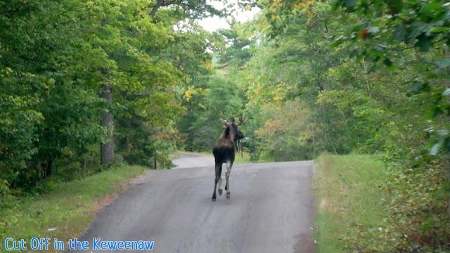 Brockway moose