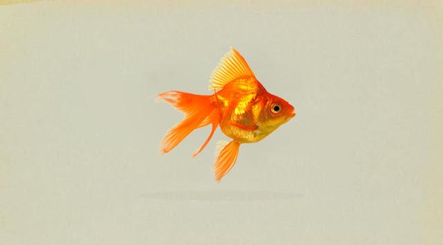 Klasifikasi dan Morfologi Ikan Mas Koki ( Carassius Auratus )