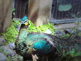 The Famous Bird With Its Tail Feathers Peacock At Garden Animals Gianyar Bali