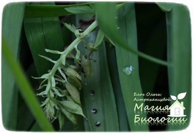 мирмекохория-мирмекофилия-муравьи-семена-хохлатки