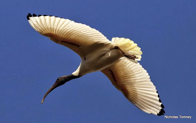 Ibis moluqueño: Threskiornis moluccus