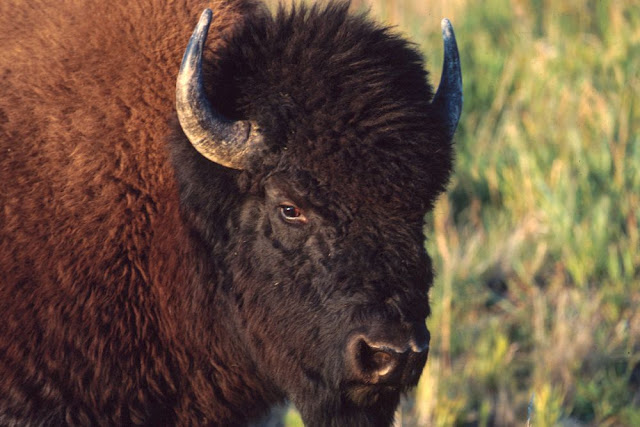 Ice Age bison fossils shed light on early human migrations in North America