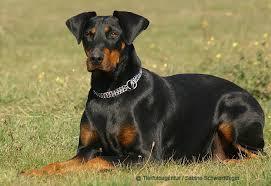 doberman cães
