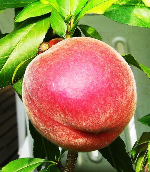 vergers  fruitiers biologique abricot pomme poires cerise prune pêche framboise raisin