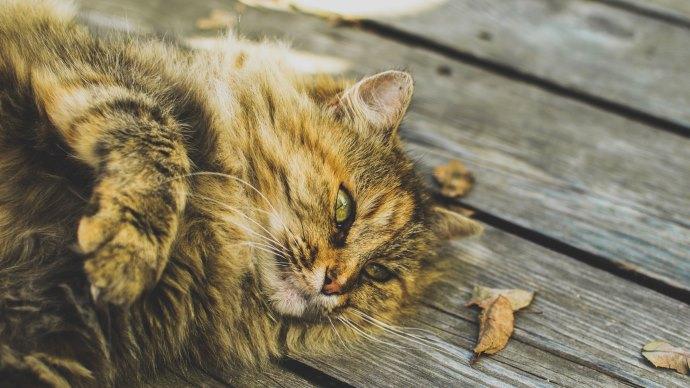 Wallpaper: Relaxed Cat