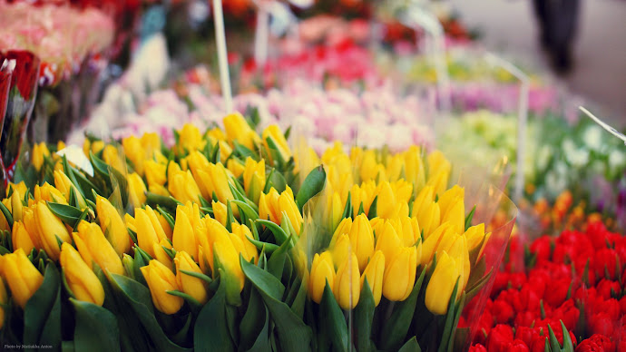 Wallpaper: Yellow and Red Tulips