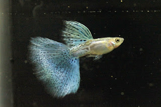 Jual Guppy Blue Grass,  Harga Guppy Blue Grass,  Toko Guppy Blue Grass,  Diskon Guppy Blue Grass,  Beli Guppy Blue Grass,  Review Guppy Blue Grass,  Promo Guppy Blue Grass,  Spesifikasi Guppy Blue Grass,  Guppy Blue Grass Murah,  Guppy Blue Grass Asli,  Guppy Blue Grass Original,  Guppy Blue Grass Jakarta,  Jenis Guppy Blue Grass,  Budidaya Guppy Blue Grass,  Peternak Guppy Blue Grass,  Cara Merawat Guppy Blue Grass,  Tips Merawat Guppy Blue Grass,  Bagaimana cara merawat Guppy Blue Grass,  Bagaimana mengobati Guppy Blue Grass,  Ciri-Ciri Hamil Guppy Blue Grass,  Kandang Guppy Blue Grass,  Ternak Guppy Blue Grass,  Makanan Guppy Blue Grass,  Guppy Blue Grass Termahal,  Adopsi Guppy Blue Grass,  Jual Cepat Guppy Blue Grass,