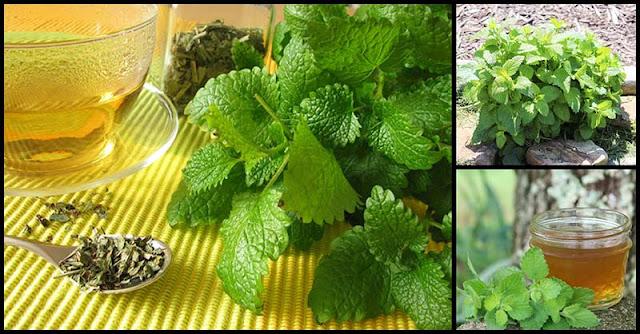 Health Benefits And Medicinal Uses Of Lemon Balm