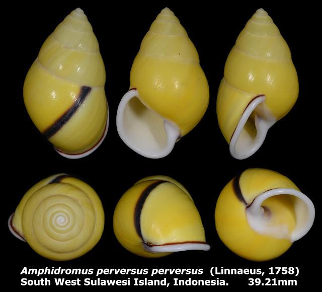 Amphidromus perversus perversus 39.21mm