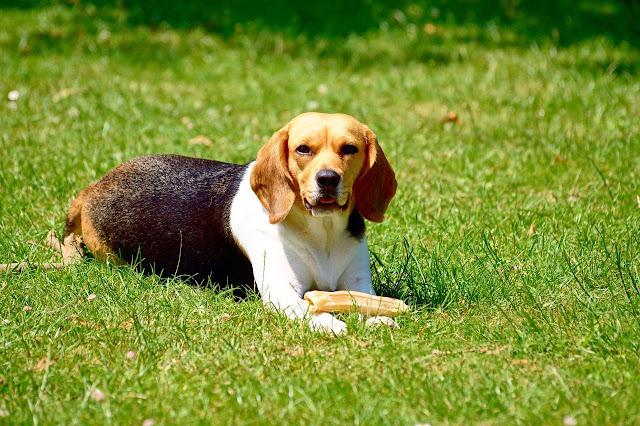 Most Loyal Dog Breeds, Top 10 loyal dogs