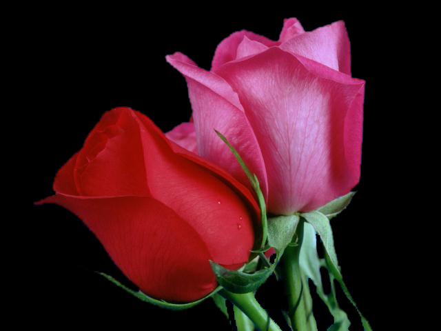 Single Flower Wallpapers: 90 Wedding Red Rose Flower Wallpapers Love Roses Pictures